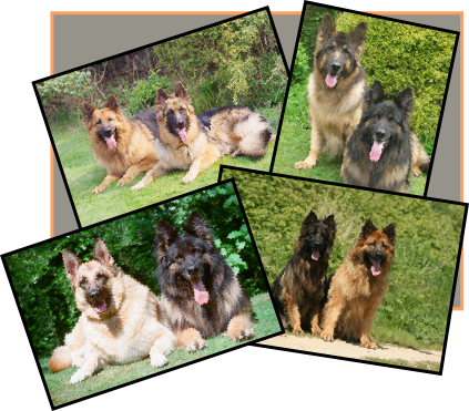 RockforceGSD - The home of Great GSD Breeding